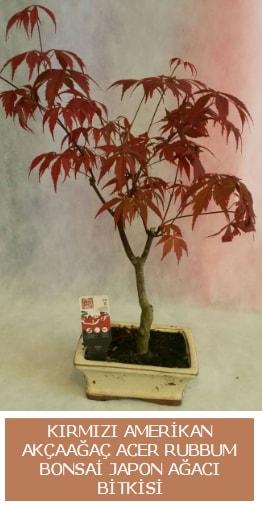 Amerikan akçaağaç Acer Rubrum bonsai  Kayseri çiçek çiçek online çiçek siparişi