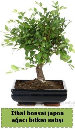 İthal bonsai saksı çiçeği Japon ağacı satışı  Kayseri akkışla çiçek çiçekçi telefonları