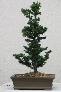Çam ağacı bonsai bitkisi satışı  Kayseri çiçek hediye çiçek yolla