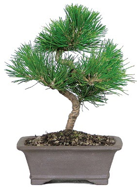 Çam ağacı bonsai japon ağacı bitkisi  Kayseri çiçek ucuz çiçek gönder