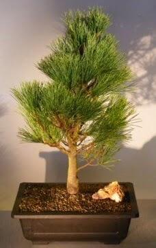 Çam ağacı japon ağacı bitkisi bonsai  Kayseri çiçek hediye çiçek yolla