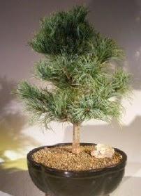 Çam ağacı bonsai bitkisi satışı  Kayseri çiçek internetten çiçek satışı