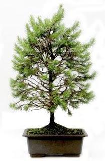*** STOKTA YOK - Çam ağacı bonsai bitkisi satışı  Kayseri çiçek hediye sevgilime hediye çiçek