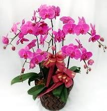 Sepet içerisinde 5 dallı lila orkide  Kayseri çiçek internetten çiçek satışı