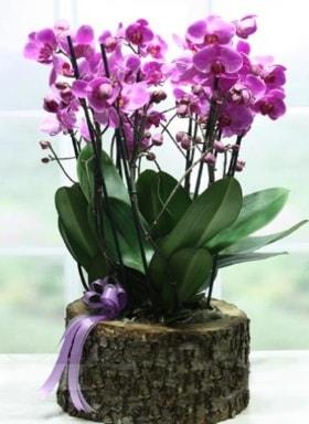 Kütük içerisinde 6 dallı mor orkide  Kayseri çiçek internetten çiçek satışı