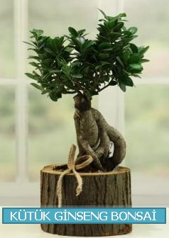 Kütük ağaç içerisinde ginseng bonsai  Kayseri çiçek çiçek satışı