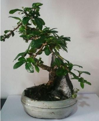 S şeklinde ithal bonsai ağacı  Kayseri özvatan çiçek çiçek , çiçekçi , çiçekçilik