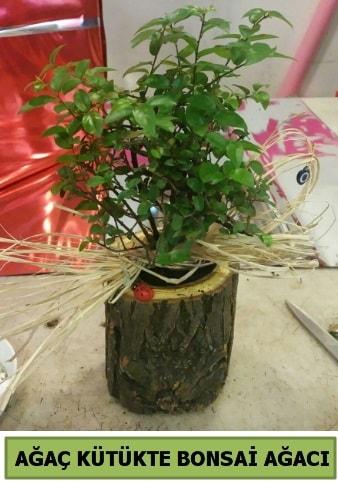 Doğal ağaç kütük içerisinde bonsai ağacı  Kayseri çiçek çiçek satışı
