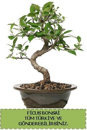 Ficus bonsai  Kayseri çiçek çiçek satışı