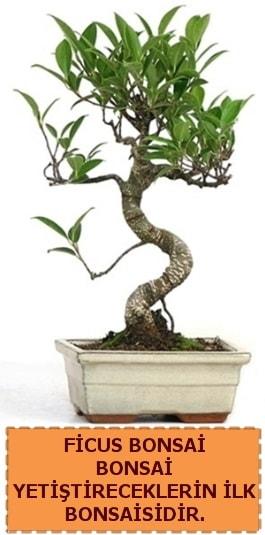Ficus bonsai 15 ile 25 cm arasındadır  Kayseri özvatan çiçek çiçek , çiçekçi , çiçekçilik