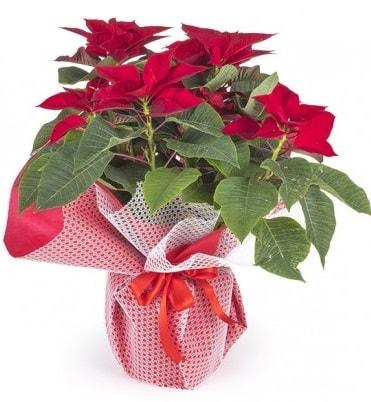 Atatürk çiçeği saksı bitkisi  Kayseri çiçek çiçek satışı