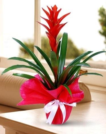 Guzmanya Saksı Çiçeği  Kayseri özvatan çiçek çiçek , çiçekçi , çiçekçilik