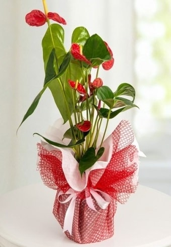 Anthurium Saksı Çiçeği  Kayseri çiçek çiçekçiler
