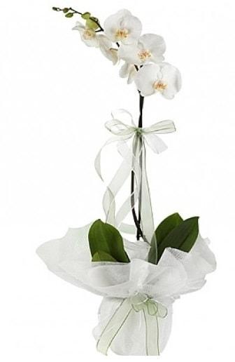 Tekli Beyaz Orkide  Kayseri çiçek çiçekçiler