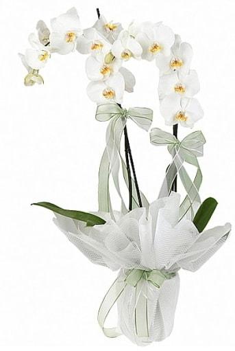 Çift Dallı Beyaz Orkide  Kayseri çiçek çiçek mağazası , çiçekçi adresleri
