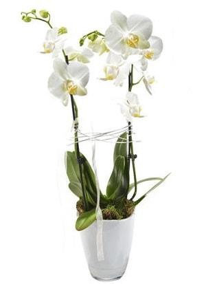 2 dallı beyaz seramik beyaz orkide saksısı  Kayseri çiçek çiçek satışı