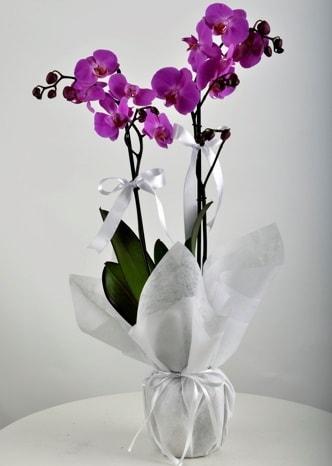 Çift dallı saksıda mor orkide çiçeği  Kayseri çiçek uluslararası çiçek gönderme