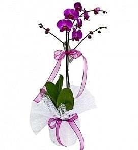Tek dallı saksıda ithal mor orkide çiçeği  Kayseri çiçek cicek , cicekci