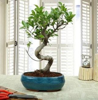 Amazing Bonsai Ficus S İthal  Kayseri çiçek cicekciler , cicek siparisi