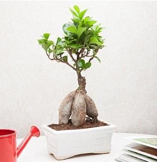 Exotic Ficus Bonsai ginseng  Kayseri çiçek yurtiçi ve yurtdışı çiçek siparişi
