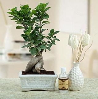 Ginseng ficus bonsai  Kayseri çiçek cicek , cicekci