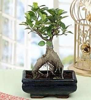 Appealing Ficus Ginseng Bonsai  Kayseri çiçek çiçek mağazası , çiçekçi adresleri