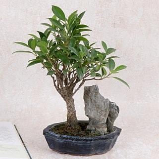 Japon ağacı Evergreen Ficus Bonsai  Kayseri çiçek çiçek satışı