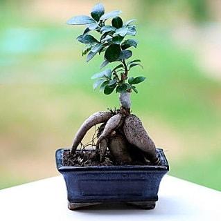 Marvellous Ficus Microcarpa ginseng bonsai  Kayseri çiçek uluslararası çiçek gönderme
