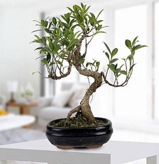 Gorgeous Ficus S shaped japon bonsai  Kayseri hacılar çiçek çiçek gönderme sitemiz güvenlidir