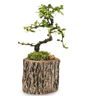 Doğal kütükte S bonsai ağacı  Kayseri çiçek çiçekçi mağazası