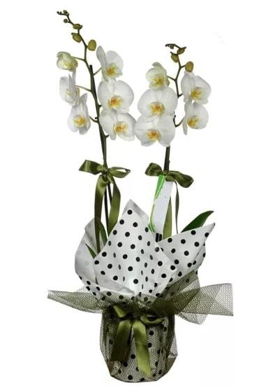 Çift Dallı Beyaz Orkide  Kayseri çiçek çiçek servisi , çiçekçi adresleri