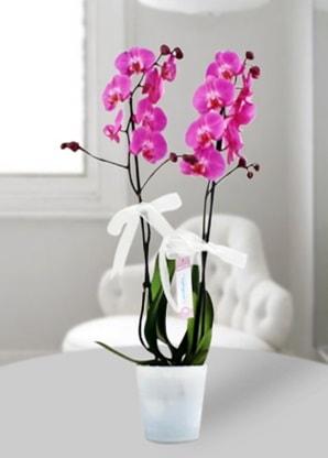 Çift dallı mor orkide  Kayseri çiçek cicek , cicekci