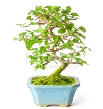 S zerkova bonsai kısa süreliğine  Kayseri akkışla çiçek çiçekçi telefonları