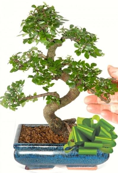 Yaklaşık 25 cm boyutlarında S bonsai  Kayseri çiçek çiçek siparişi vermek