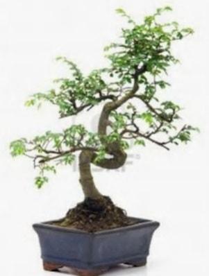 S gövde bonsai minyatür ağaç japon ağacı  Kayseri çiçek çiçekçi mağazası