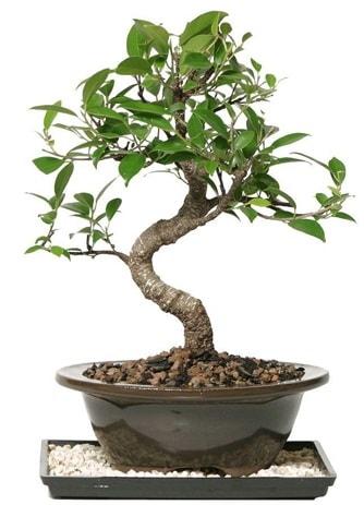 Altın kalite Ficus S bonsai  Kayseri çiçek hediye çiçek yolla  Süper Kalite