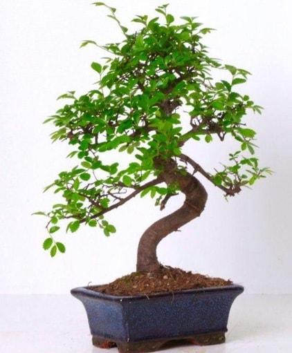 S gövdeli bonsai minyatür ağaç japon ağacı  Kayseri çiçek çiçek satışı