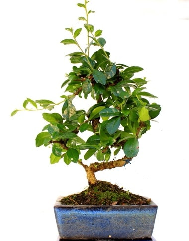 S gövdeli carmina bonsai ağacı  Kayseri özvatan çiçek çiçek , çiçekçi , çiçekçilik  Minyatür ağaç