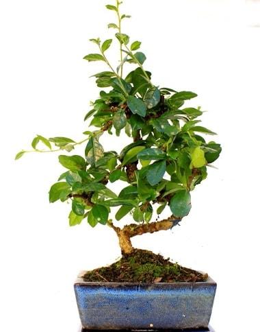 Bonsai Minyatür Ağaç Bonzai S Gövde  Kayseri çiçek online çiçek gönderme sipariş