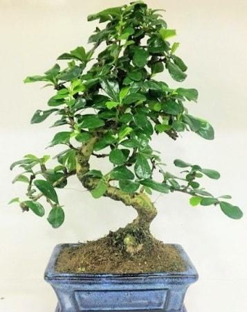 Zelkova S gövdeli Minyatür ağaç Bonzai  Kayseri çiçek ucuz çiçek gönder