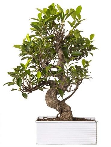 Exotic Green S Gövde 6 Year Ficus Bonsai  Kayseri çiçek çiçek satışı
